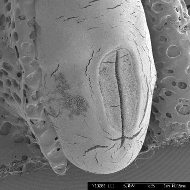 電子顕微鏡観察によるツルマメ種子の表面