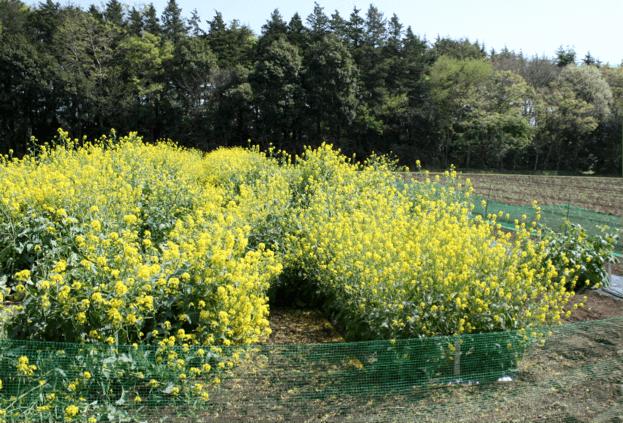 自生カラシナ特性評価のための栽培試験