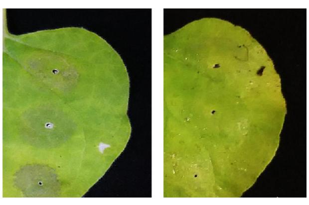 【プレスリリース】アスコルビン酸噴霧で植物の細胞死が抑制される 〜細胞でのタンパク質の生産性が向上〜page-visual 【プレスリリース】アスコルビン酸噴霧で植物の細胞死が抑制される 〜細胞でのタンパク質の生産性が向上〜ビジュアル