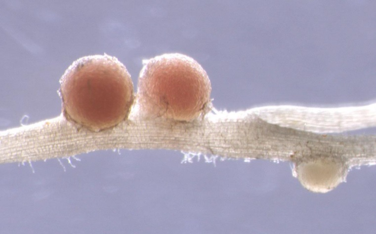 【プレスリリース】マメ科植物の栄養環境適応戦略〜窒素栄養に応答して遺伝子発現を調節する仕組み〜page-visual 【プレスリリース】マメ科植物の栄養環境適応戦略〜窒素栄養に応答して遺伝子発現を調節する仕組み〜ビジュアル